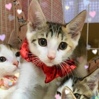 2ヶ月☆美形の三毛猫☆ビビちゃん