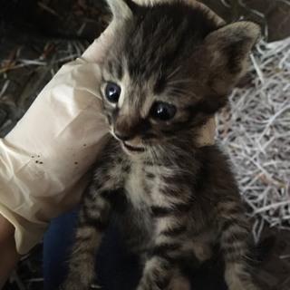 1ヶ月程の子猫3匹です