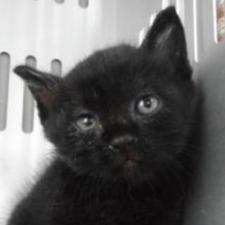 里親様を待っています。子猫♂黒