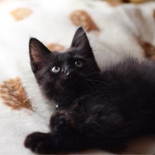 ふわふわ長毛黒猫男子【凪穏】