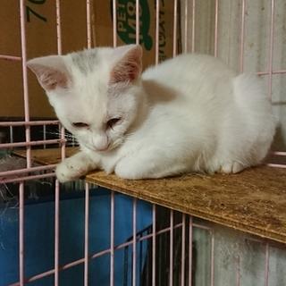 甘えたで可愛い真っ白な子猫!