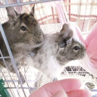 飼育経験者の方に。3歳(♀)デグー2匹里親募集です
