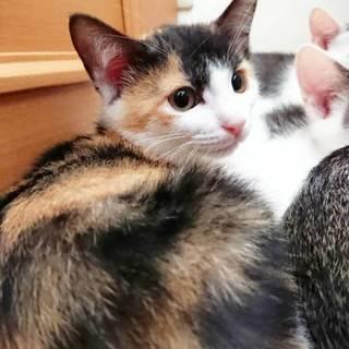 耳に小さなハートマークのクリーミー三毛4月産れ