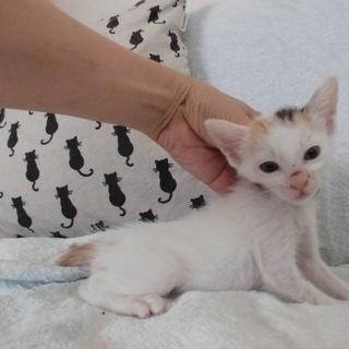 かわいい三毛猫みらいちゃん