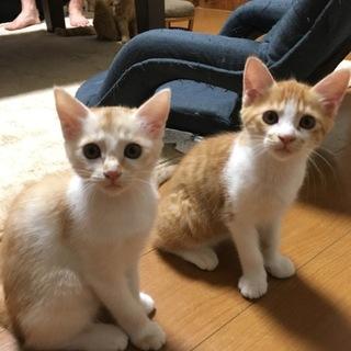 生後1ヶ月半の子猫2匹里親募集