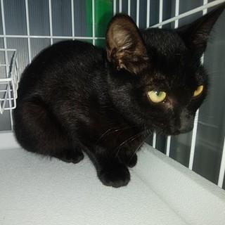 黒猫の女の子☆ミミちゃん 5ヵ月