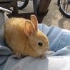 ミニウサギの赤ちゃん里親さん募集