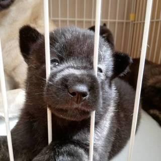 甲斐犬2ヶ月女の子です^_^