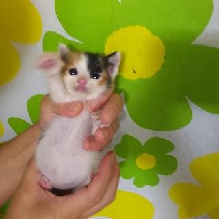 三毛猫ちゃん生後3週間離乳食食べています