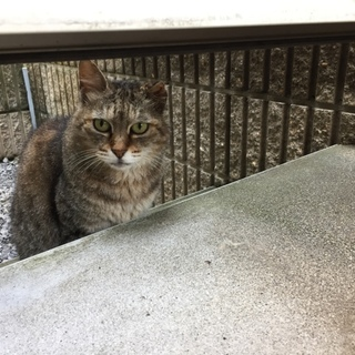 大人しい大人猫 丸顔のキジトラ
