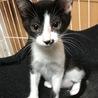 はなちゃん2ヶ月★人気の黒白猫さん サムネイル2