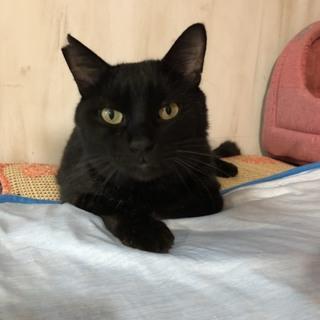 【ピート】なでなで大好き甘えん坊の黒猫男子