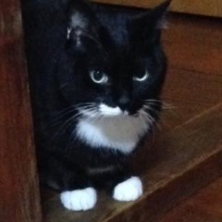 おとなしい黒白猫です。