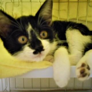 まんまる目の子猫 ♪ アミちゃん 2ヵ月半