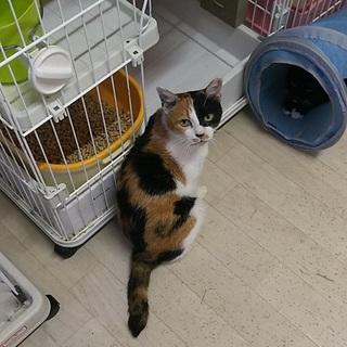 大人の猫希望の方へ 淡路島の猫