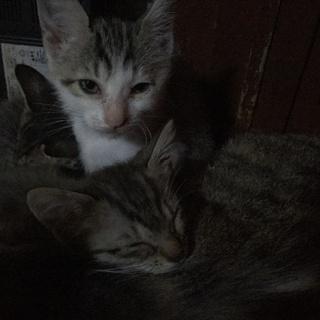生後2か月の子猫ちゃん3匹です。
