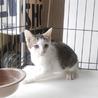 子猫 生後約4ヶ月 サバ白ちゃん ビビリな子です