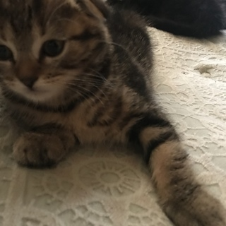 キジトラと黒猫の子猫