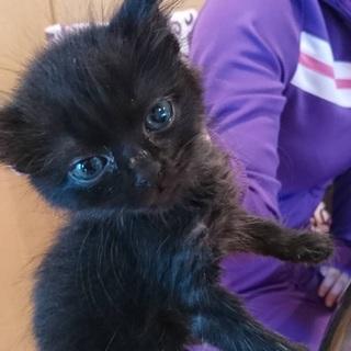 生後約1ヶ月の黒猫「うた♀」の飼い主様募集!