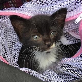 生後約1ヶ月の黒白猫「おぎ♀」の飼い主募集中!