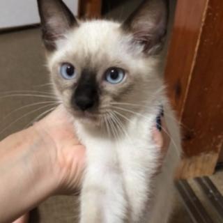 シャム系子猫