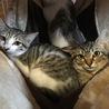 最後4ヶ月のギシトラ♂、白キジ♀♀の兄妹です。