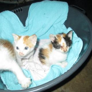 緊急募集! 大牟田市 福岡県 熊本県 幼猫子猫