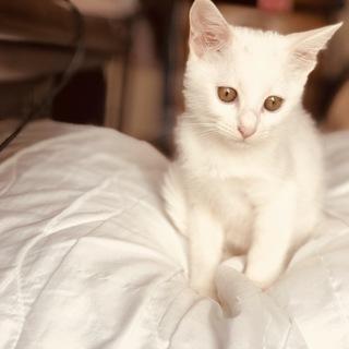 真っ白な子猫、雪ちゃん。