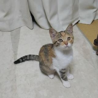 三毛猫さんの里親さん探してます
