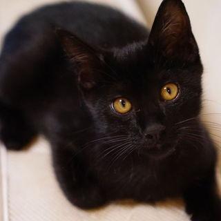 かんわいらしい黒猫の男の子(3ヶ月)