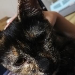 急募☆甘えたサビ猫女の子カリン(仮名)