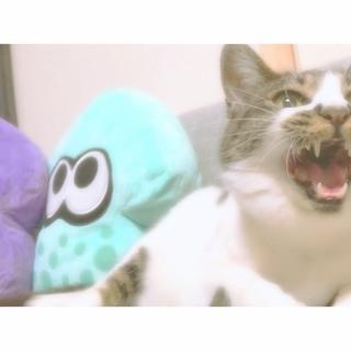 甘えん坊な4歳のメス猫(*^ω^*)