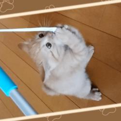 紐で遊ぶうちの茶トラ猫です