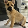 沖縄生まれ、シェパードmixの仔犬(2ヶ月) サムネイル2