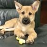 沖縄生まれ、シェパードmixの仔犬(2ヶ月) サムネイル3