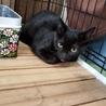処分間近 綺麗な黒猫 動画あり