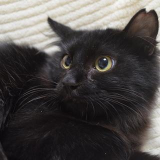 おっとり半長毛黒猫☆睦くん 5ヶ月