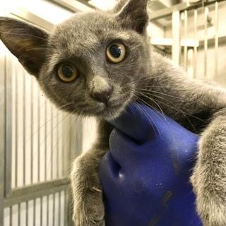 ロシアンブルーみたいな子猫が収容