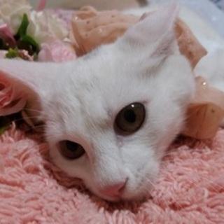9/30後楽園★キリエちゃん★綺麗な白猫ちゃん