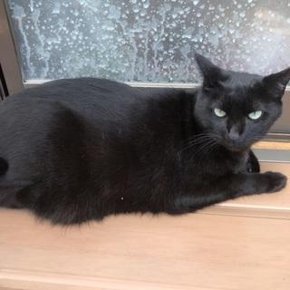 ぽっちゃりな黒猫♪ベルちゃん(女の子)