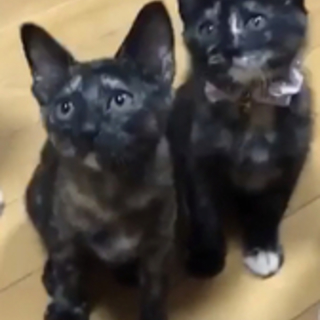 賢いサビ仔猫リン&メイ
