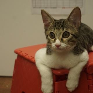 カッコ可愛い子猫♪ フーガ君