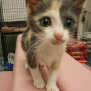可愛らしいパステルミケの子猫♪ チカちゃん