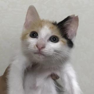 美形三毛子猫 お転婆の甘えん坊さん