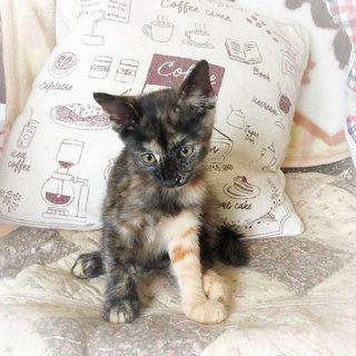甘えっこのサビ猫女子 先住猫