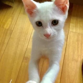 白猫メス4~5ヵ月・ダージリンちゃん