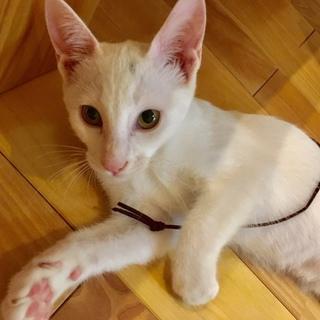 白猫メス4~5ヵ月・チャイちゃん