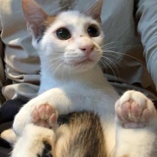 脇腹に♥柄のミケ猫ちゃん・生後約5ヶ月♪