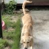 大型犬の子犬ローラちゃん♥ サムネイル6