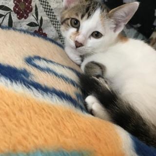 三毛猫の子猫里親募集!